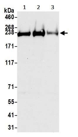 Western blot - Anti-TRAP220/MED1 antibody (ab245546)
