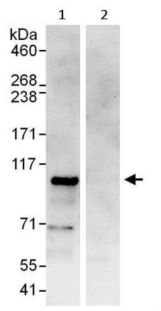 Immunoprecipitation - Anti-BACH1.3 antibody (ab245548)