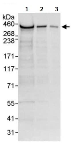 Western blot - Anti-RanBP2 antibody (ab245563)