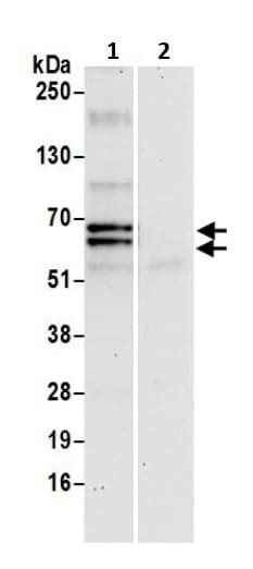 Immunoprecipitation - Anti-USP39 antibody (ab245571)