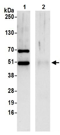 Immunoprecipitation - Anti-NUCB2 antibody (ab245608)