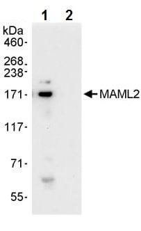Immunoprecipitation - Anti-MAML2 antibody (ab245612)