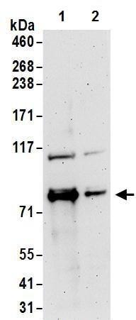 Western blot - Anti-FXR1 antibody (ab245624)