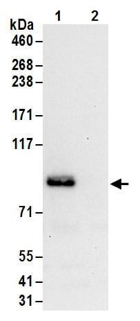 Immunoprecipitation - Anti-FXR1 antibody (ab245624)