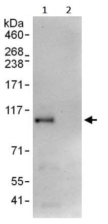 Immunoprecipitation - Anti-HJURP antibody (ab245631)