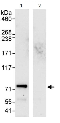 Immunoprecipitation - Anti-GNL1 antibody (ab245633)