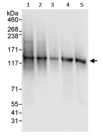 Western blot - Anti-SF3B3 antibody (ab245640)