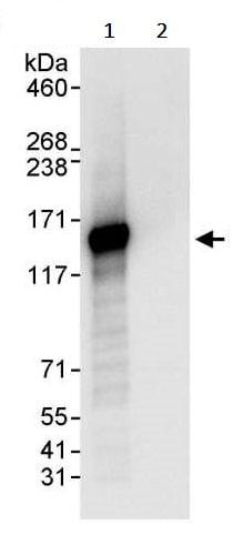 Immunoprecipitation - Anti-SF3B3 antibody (ab245640)