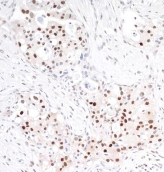 Immunohistochemistry (Formalin/PFA-fixed paraffin-embedded sections) - Anti-TRAF4 antibody (ab245667)