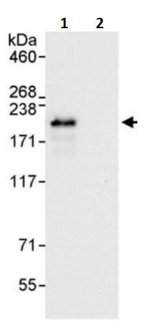 Immunoprecipitation - Anti-Nup153 antibody (ab245669)