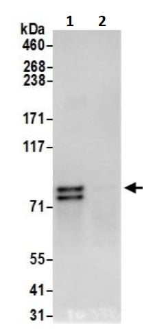 Immunoprecipitation - Anti-Nuclear Matrix Protein p84 antibody (ab245671)