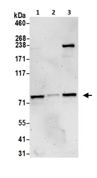 Western blot - Anti-Nuclear Matrix Protein p84 antibody (ab245671)