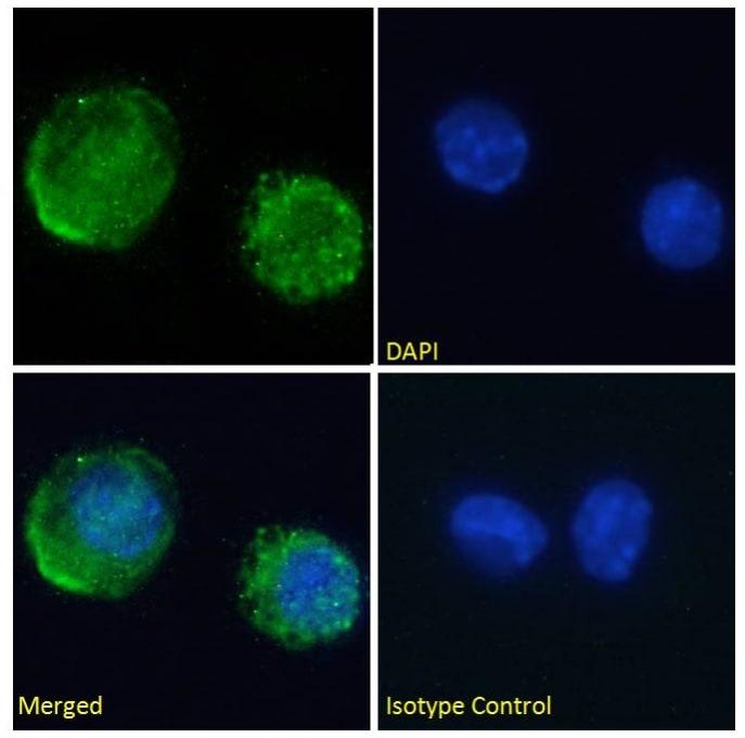 Immunocytochemistry/ Immunofluorescence - Anti-Transferrin antibody [TW4.20] (ab245677)