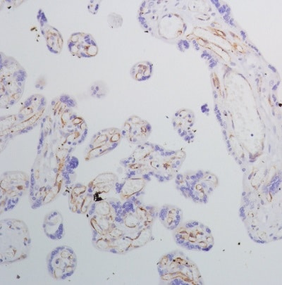 Immunohistochemistry (Formalin/PFA-fixed paraffin-embedded sections) - Anti-SPARC antibody [SP205] - BSA and Azide free (ab245733)