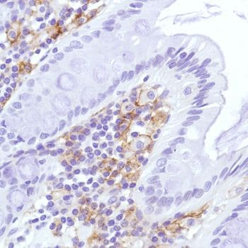Immunohistochemistry (Formalin/PFA-fixed paraffin-embedded sections) - Anti-Sialoadhesin/CD169 antibody [SP213] - BSA and Azide free (ab245735)