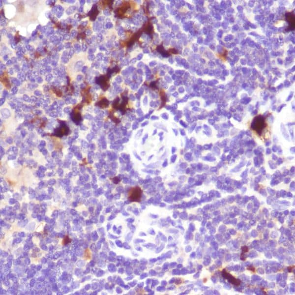 Immunohistochemistry (Formalin/PFA-fixed paraffin-embedded sections) - Anti-Indoleamine 2, 3-dioxygenase antibody [SP260] - BSA and Azide free (ab245737)
