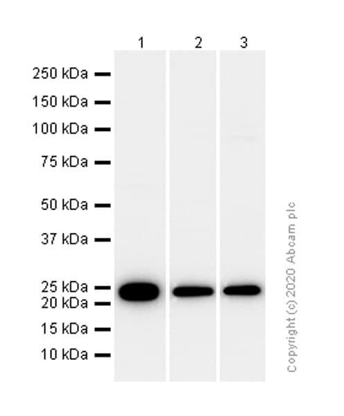 Western blot - Anti-GST3 / GST pi antibody [EPR8263] - BSA and Azide free (ab245762)