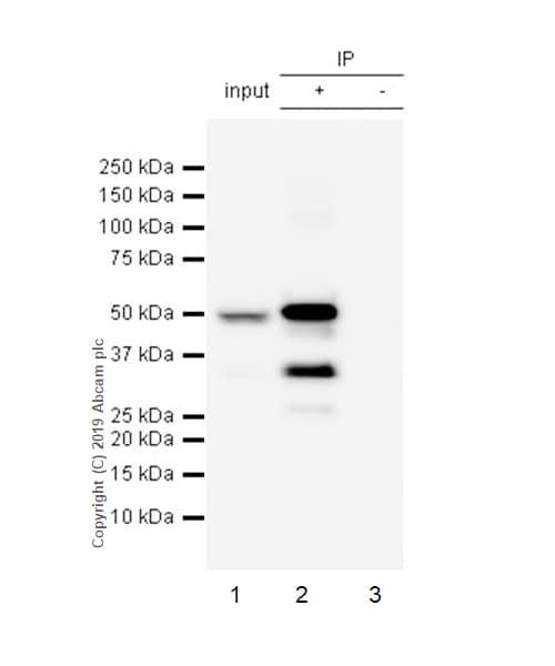 Immunoprecipitation - Anti-Cytochrome P450 3A4/CYP3A4 antibody [EPR6202] - BSA and Azide free (ab245774)
