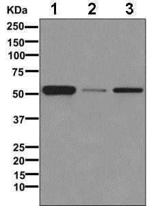 Western blot - Anti-ADRA1B antibody [EPR10336] - BSA and Azide free (ab245776)