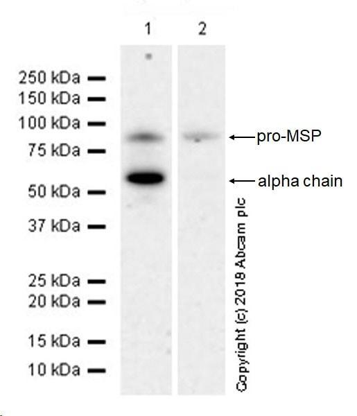 Western blot - Anti-MSP/MST1 antibody [EPR22184-180] - BSA and Azide free (ab245826)