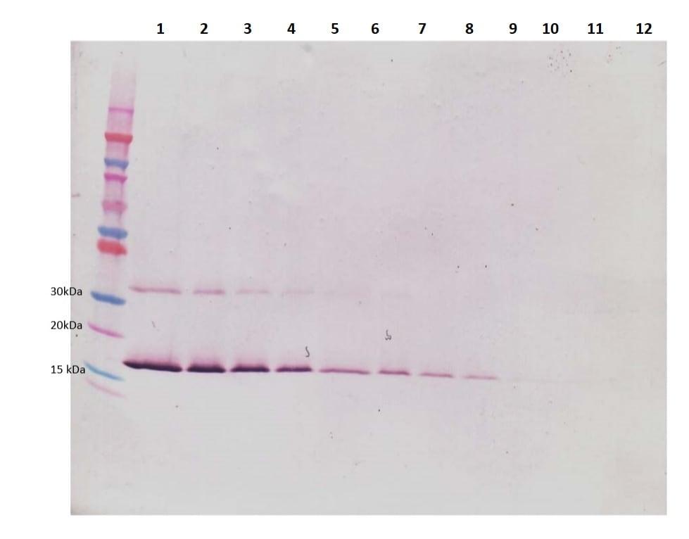 Western blot - Anti-LIF antibody (Biotin) (ab245854)