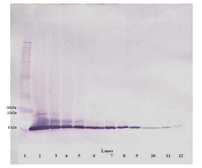 Western blot - Anti-Eotaxin antibody (Biotin) (ab245855)