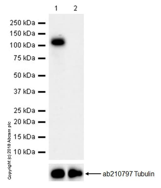 Western blot - Anti-Wee1 antibody [EPR20899] - BSA and Azide free (ab245987)