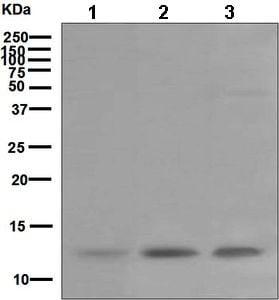 Western blot - Anti-DAP12 antibody [EPR5173] - BSA and Azide free (ab246001)
