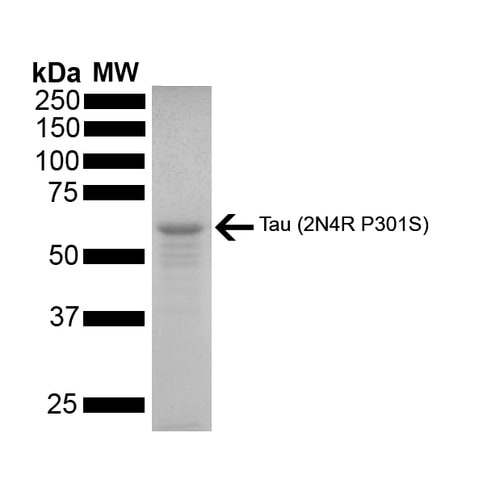 SDS-PAGE - Recombinant human Tau protein (Active) (ab246005)