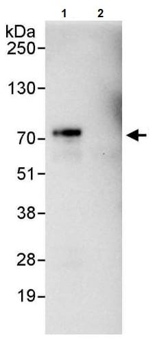Immunoprecipitation - Anti-YAP1 antibody (ab246007)