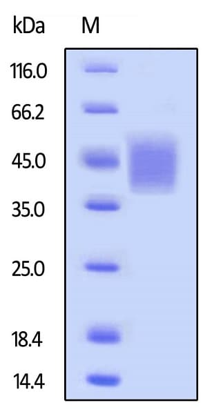 SDS-PAGE - Recombinant human CD16b protein (Active) (Biotin) (ab246039)