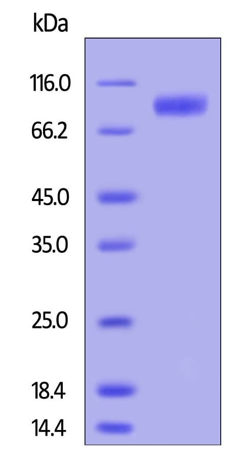 SDS-PAGE - Recombinant human GCSF Receptor protein (Active) (Biotin) (ab246045)