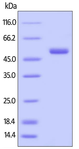 SDS-PAGE - Recombinant human BAFF protein (Active) (Biotin) (ab246065)