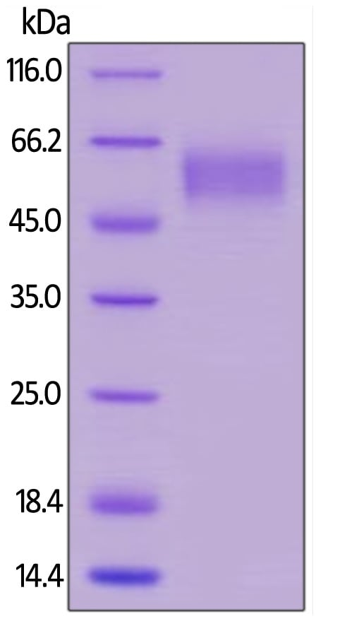 SDS-PAGE - Recombinant human CD64 protein (Active) (Biotin) (ab246071)