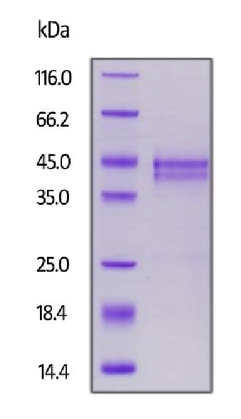 SDS-PAGE - Recombinant Human CTGF protein (Biotin) (ab246075)
