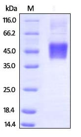 SDS-PAGE - Recombinant human CD16 protein (Biotin) (ab246090)