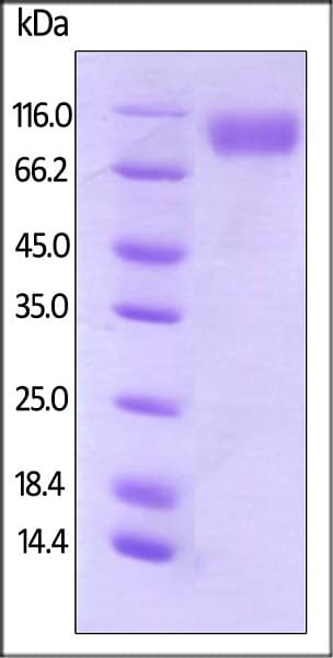 SDS-PAGE - Recombinant human CD200R protein (Active) (Biotin) (ab246107)