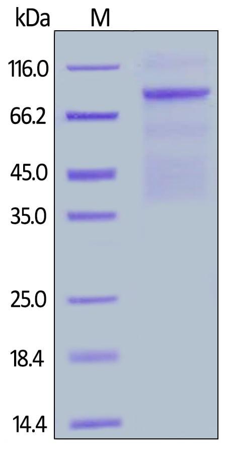 SDS-PAGE - Recombinant human Met (c-Met) protein (Active) (Biotin) (ab246134)