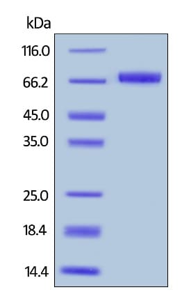 SDS-PAGE - Recombinant human Mesothelin protein (Biotin) (ab246139)