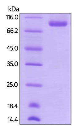 SDS-PAGE -  Human Neuropilin 1 protein (ab246144)