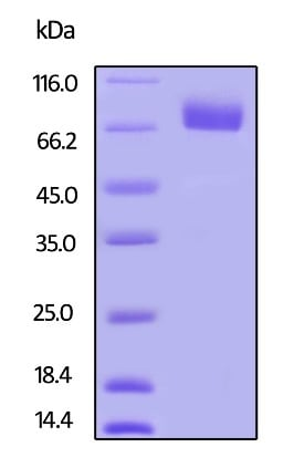 SDS-PAGE -  Human PD-L2 protein (Active) (ab246146)