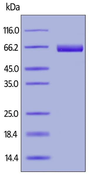SDS-PAGE - Recombinant human Mesothelin protein (Active) (Biotin) (ab246152)