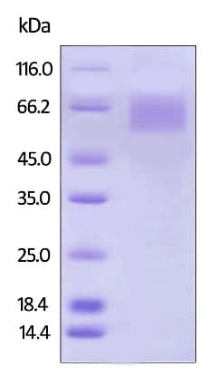 SDS-PAGE - Recombinant human IL-17RA Receptor protein (Active) (Biotin) (ab246161)