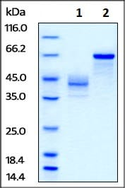 SDS-PAGE - Recombinant human IGF2 protein (Biotin) (ab246181)
