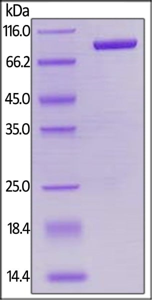 SDS-PAGE - Recombinant human LAG-3 protein (Active) (Biotin) (ab246185)
