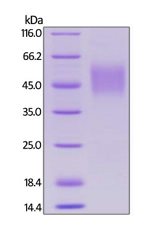 SDS-PAGE -  Human SLAM / CD150 protein (Tagged) (ab246194)