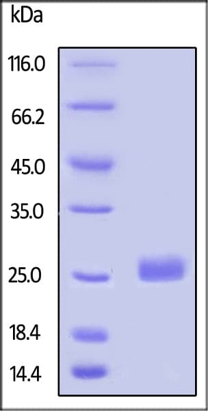 SDS-PAGE - Recombinant Human LAIR2 protein (Tagged) (Biotin) (ab246202)