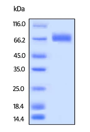 SDS-PAGE - Recombinant Human LILRA3 protein (Tagged) (Biotin) (ab246218)