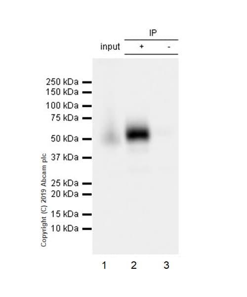 Immunoprecipitation - Anti-CD16 antibody [EPR22409-124] (ab246222)