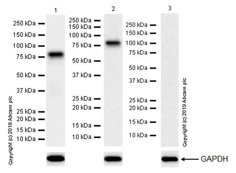 Western blot - Anti-Bag3 antibody [EPR20207-58-4] (ab246225)